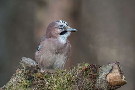 Jay, perched on a moss covered tree stump in a forest