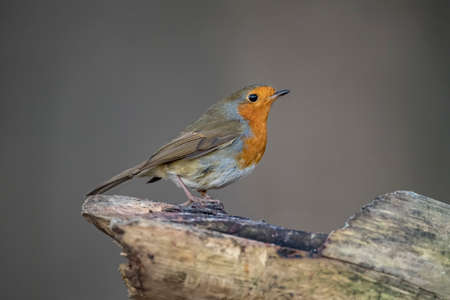 Robin, perched on a branch in woodland