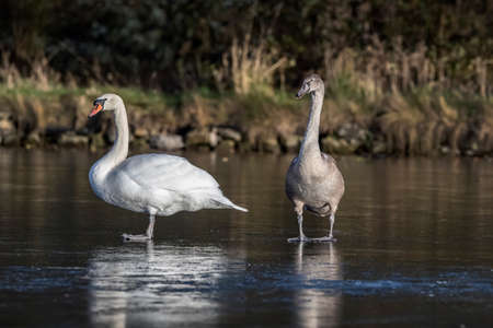 Mute Swan and a Cygnet, close up on a  frozen pond in the winter