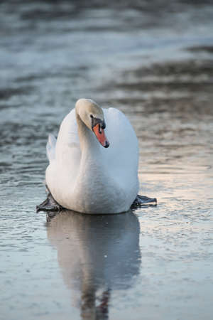 Mute Swan on a frozen pond, close up in the winter Stock Photo