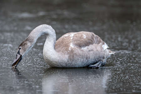 Cygnet on a frozen pond, close up in the winter