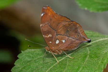 Autumn leaf butterfly perched on a leaf, close up Stock Photo
