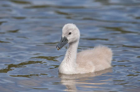 Cygnet in a loch in Scotland, close up Stock Photo