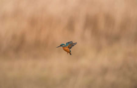 Kingfisher, in flight in front of some reeds