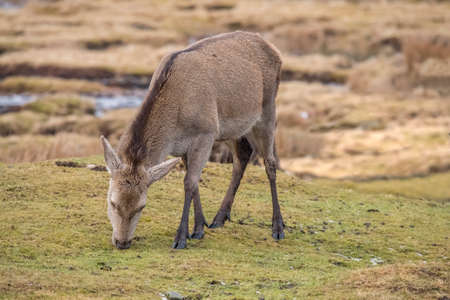 Red deer doe eating on a hillside in the Highlands of Scotland Stock Photo