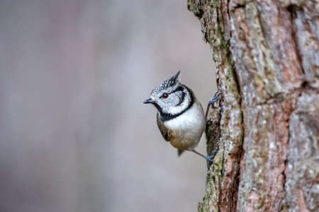Crested tit perched on a tree trunk looking for food