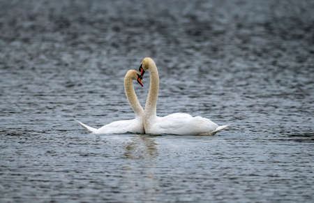 Mute Swans courtship display on a loch