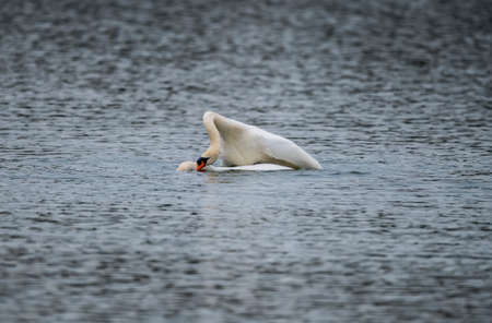 Mute Swans mating on a loch Stock Photo