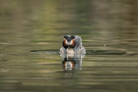 Great crested Grebe courtship display on a loch  Stock Photo