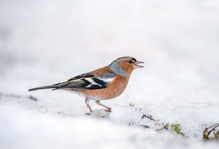 Chaffinch, male, perched on the snow Stock Photo