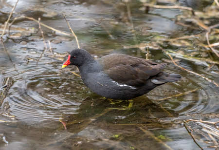 Moorhen on a loch, close up Stock Photo