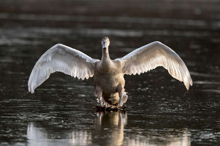 Mute Swan Cygnet, flying across a frozen pond, close up