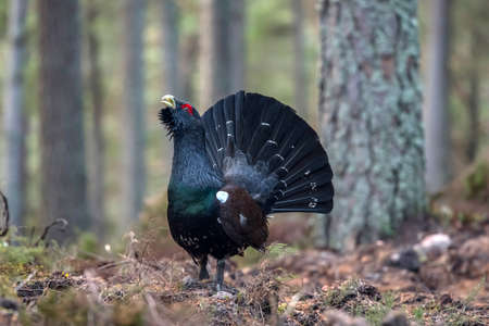 Capercaillie in a forest in the highlands of Scotland