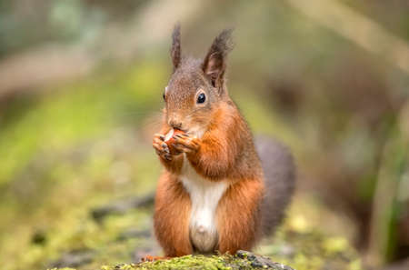 Red Squirrel on a lichen covered tree trunk eating a Hazelnut