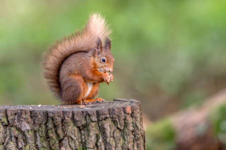 Red Squirrel on a tree stump in woodland
