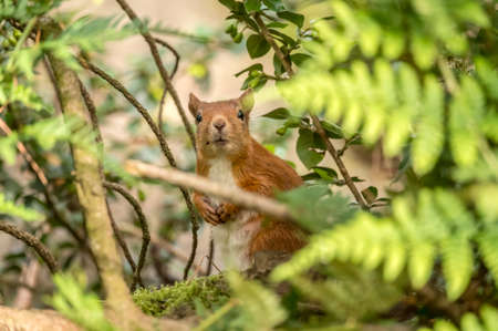 Red Squirrel on a tree trunk peeping through the leaves Stock Photo