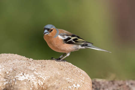 Chaffinch, male, perched on a Toadstool in the Springtime