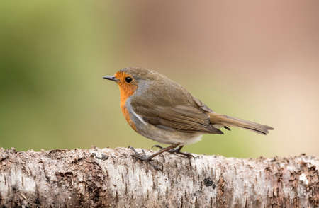 Robin, perched on a branch in Springtime