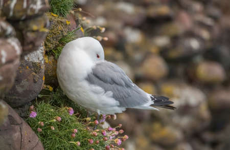 Kittiwake, perched on the edge of a cliff, close up