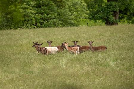 Fallow deer juveniles in a field in Scotland