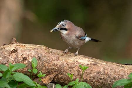 Jay, perched on a branch in a forest