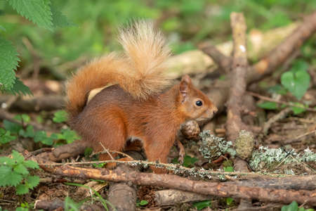 Red Squirrel on the forest floor, close up Banco de Imagens