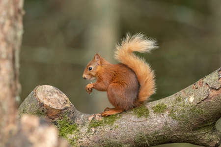 Red Squirrel on the branch of a tree, eating nuts