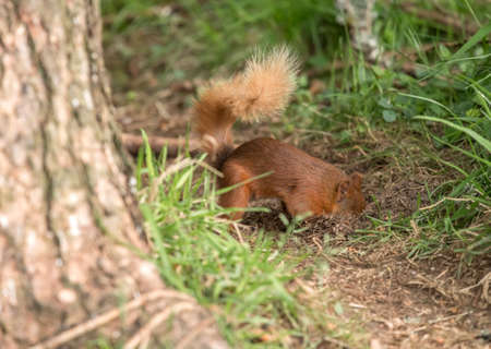 Red Squirrel burying nuts in a forest