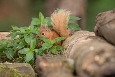 Red Squirrel hidden behind a plant in the forest