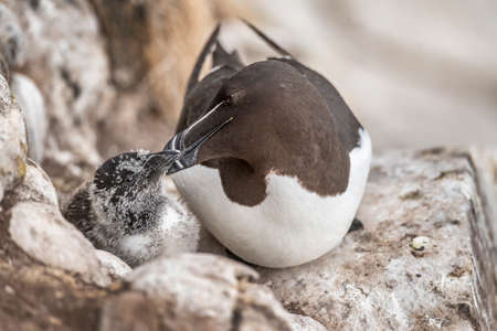 Razorbill and its chick sitting on a cliff in the Summer time