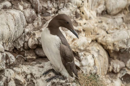 Common Guillemot, on the edge of a cliff, close up 版權商用圖片