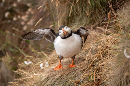 Puffin, about to fly from the edge of a cliff