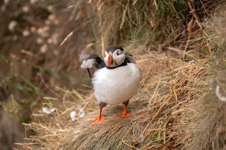 Puffin, standing on dry grass on the edge of a cliff