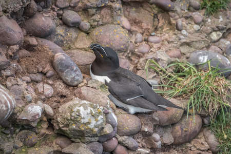 Razorbill sitting on the side of a cliff, close up