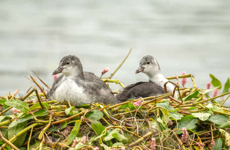 Coot, juveniles, sitting on a nest on a loch