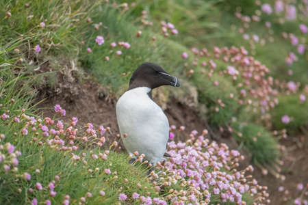 Razorbill sitting on the grass on a cliff among the Thrift flowers