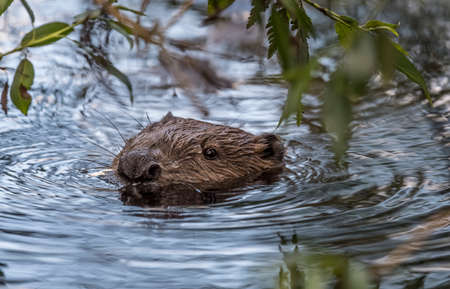 Beaver in the river in the Summer time, close up