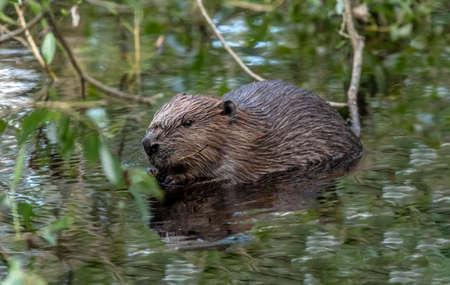 Beaver in the river in the Summer time