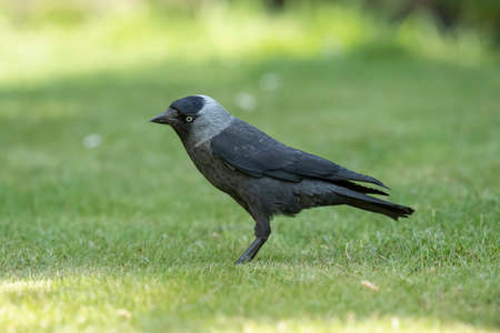 Jackdaw standing on the grass, close up