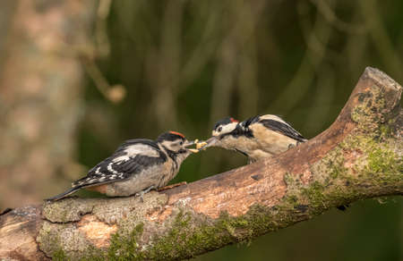 Great spotted woodpecker feeding its baby, on a branch in a forest