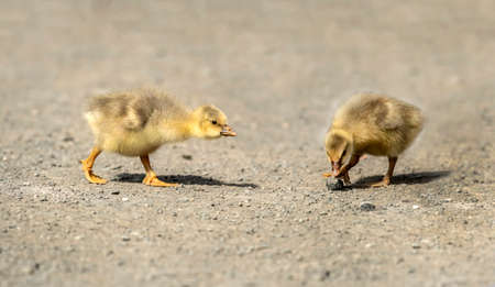 Greylag Goslings on the road, close up 版權商用圖片