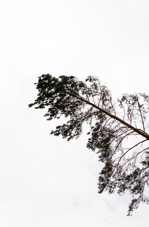 unnatural: Alone pine tree and grey sky unnatural composition