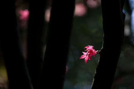 aceraceae: vivid maple leaves