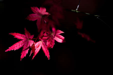int: red maple leaves int the dark background