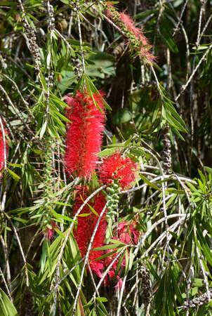 callistemon: The  Callistemon viminalis of Gomphocarpus physocarpus, Khao Kho, Petchaboon, Thailand