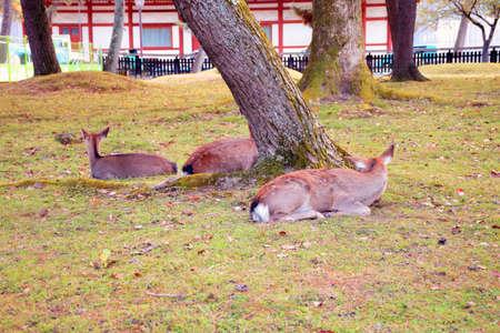 nara: Deer in Nara, Japan