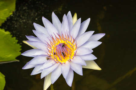 Lotus and bee in pond