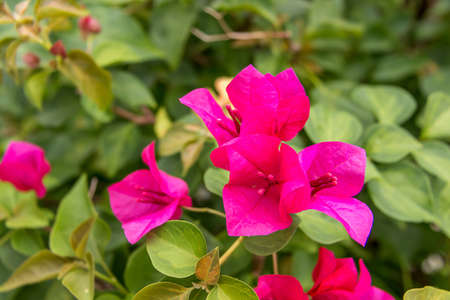 color bougainvillea: Bougainvillea pink flower green leaf lively
