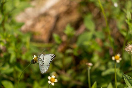 danaus: White butterfly wing fly flower Stock Photo