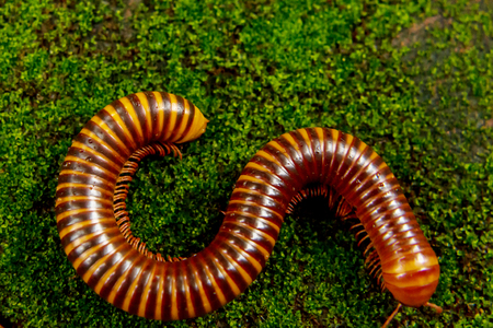 Large millipede on green grass Reklamní fotografie